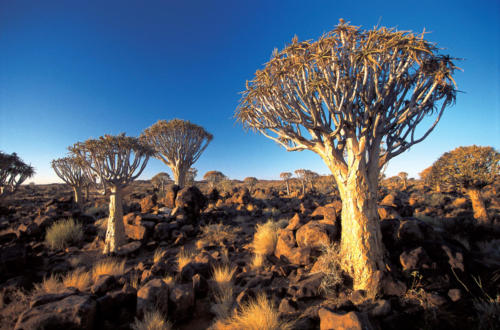 Quiwer tree forest